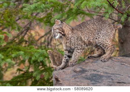 Bobcat Kitten (Lynx rufus) Prepares To Leap