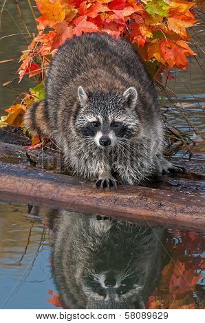 Raccoon (Procyon lotor) Looks Directly At Viewer