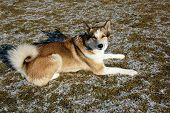 stock photo of laika  - West Siberian Laika lying on a frozen meadow - JPG