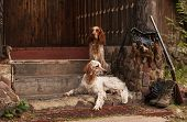 stock photo of english setter  - Gun dog near to shot - JPG