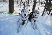 stock photo of husky sled dog breeds  - sled dog breed Siberian Husky lie on the snow