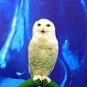 stock photo of snowy owl  - Closeup Snowy Owl  - JPG