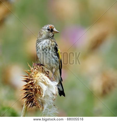 goldfinch in natural habitat (carduelis carduelis) - juvenile