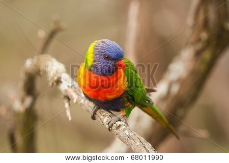 Lorikeet bird on a branch