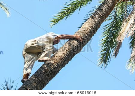 Man Climbing On Date Palm Tree