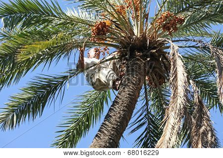 Man Climbing On Palm Tree