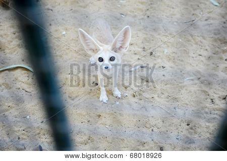 Desert Fox In Zoo