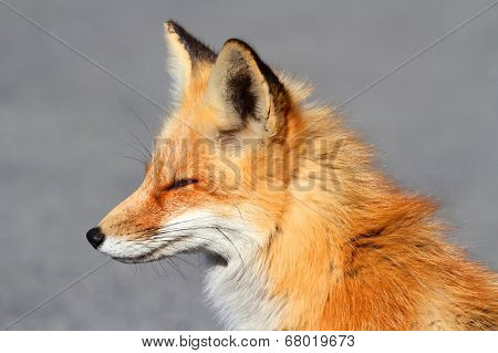 Red Fox (vulpes) Close-up