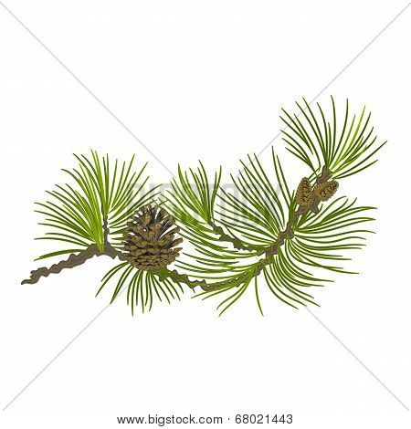 Pine Branch Whit Pinecones Vector