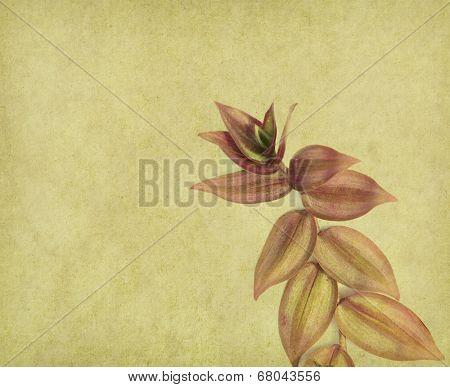 Setcreasea Purpurea leaves on old paper background
