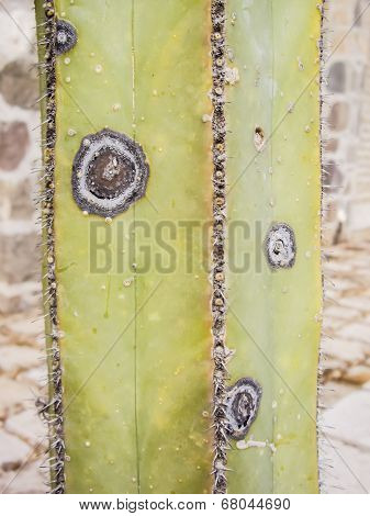 Square Cacti