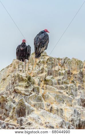 Turkey vultures, Islas Ballestas, Peru