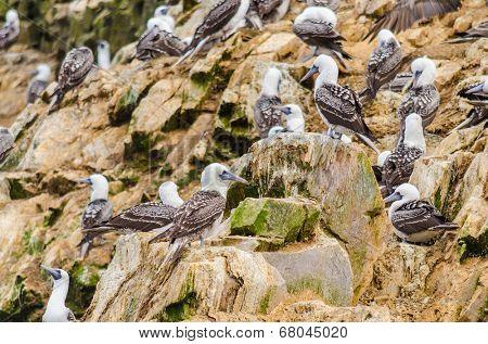 Peruvian boobies, Islas Ballestas, Peru