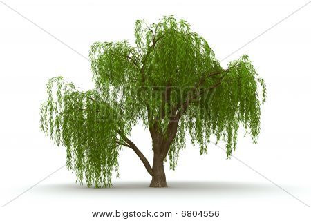 3d green tree weeping willow isolate