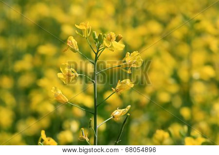 Rapeseed (Brassica Rapa) Plant On A Field