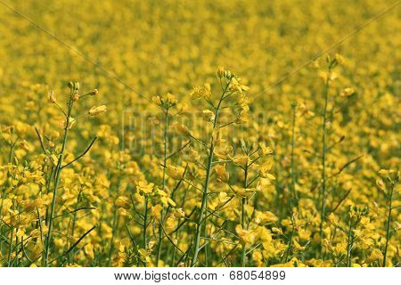 Field Of Rapeseed (Brassica Rapa) At Summer