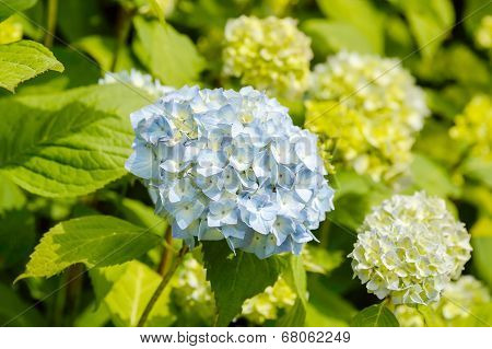Light Blue Hortensia
