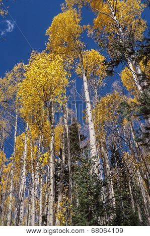 Santa Fe Aspen Grove In Autumn