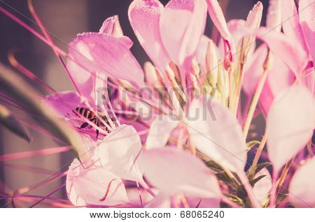 Cleome Hassleriana Or Spider Flower Or Spider Plant