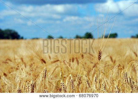 Ripened Fields Sown With Barley
