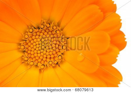 Calendula (Pot Marigold) Flower Close-up On White Background