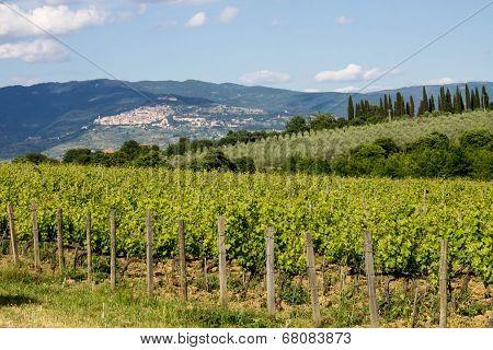 vineyard in tuscan