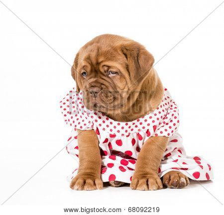 female puppy - dogue de bordeaux wearing a dress - 4 weeks old