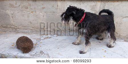 miniature schnauzer dog and hedgehog
