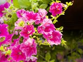 stock photo of petunia  - ampelnye plants - JPG