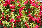 image of climbing rose  - Flowering climbing rose  - JPG