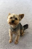 stock photo of yorkie  - An adorable yorkie wants to play with his owner - JPG
