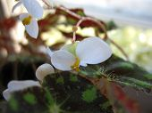 pic of begonias  - This is blossoming of begonia  - JPG