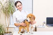 pic of vet  - Beagle dog at a reception at the vet - JPG