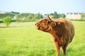 picture of hirsutes  - scottish highland cow standing on grassy farmland - JPG