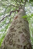 stock photo of initials  - A very large tree trunk carved with initials - JPG