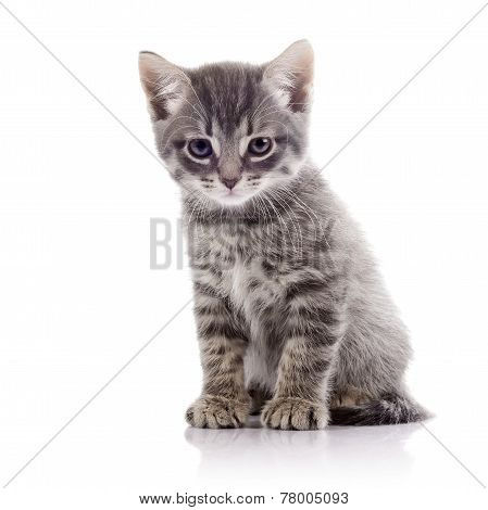 Angry Gray Kitten.