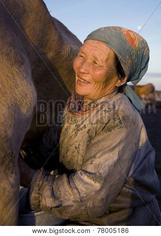 Mongolian milking woman milking the cow.