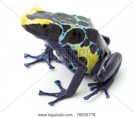 poison arrow frog on white Dandrobates tinctorius and colorful beautiful small and poisonous amphibian of the tropical rain forest of Frnech Guyana, Suriname and Brazil