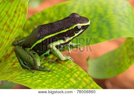 striped poison dart frog Ameerega or epipedobates trivittatus from the Amazon rain forest of Brazil Peru Ecuador