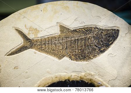 Fish Fossil, Extinct Species Print