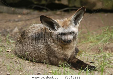 Bat-eared fox (Otocyon megalotis).