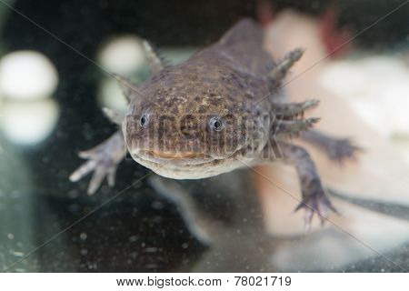 Brown Axolotl