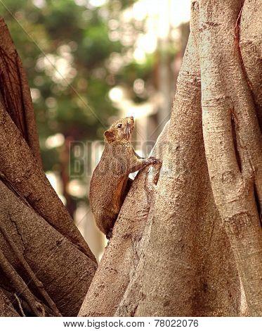 Large Brown Tree Squirrel