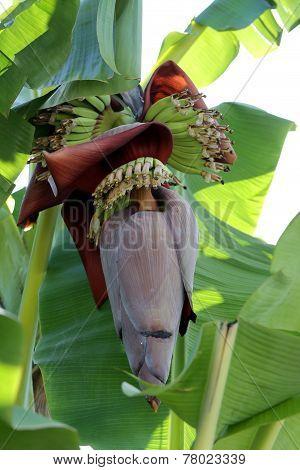 Blossom On Banana Tree.