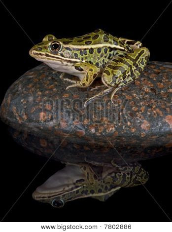 Leopard Frog Reflection