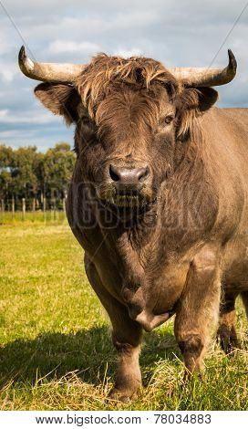 Brown Highland Bull