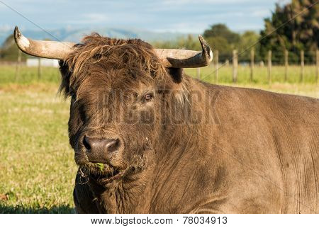 Highland Big Bull