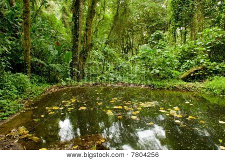Pond In Rain Forest