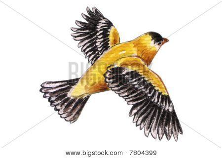 Flying pigeon en acuarela