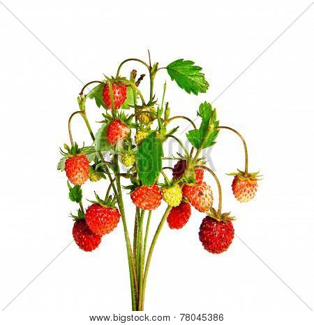 Bunch Of Wild Strawberries